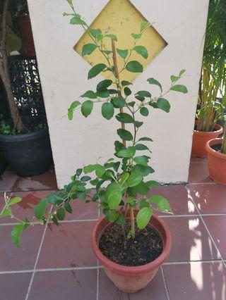 Jujube plant