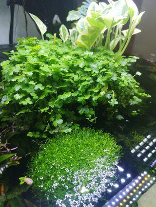 Aquatic plant - Hydrocotyle Tripartita