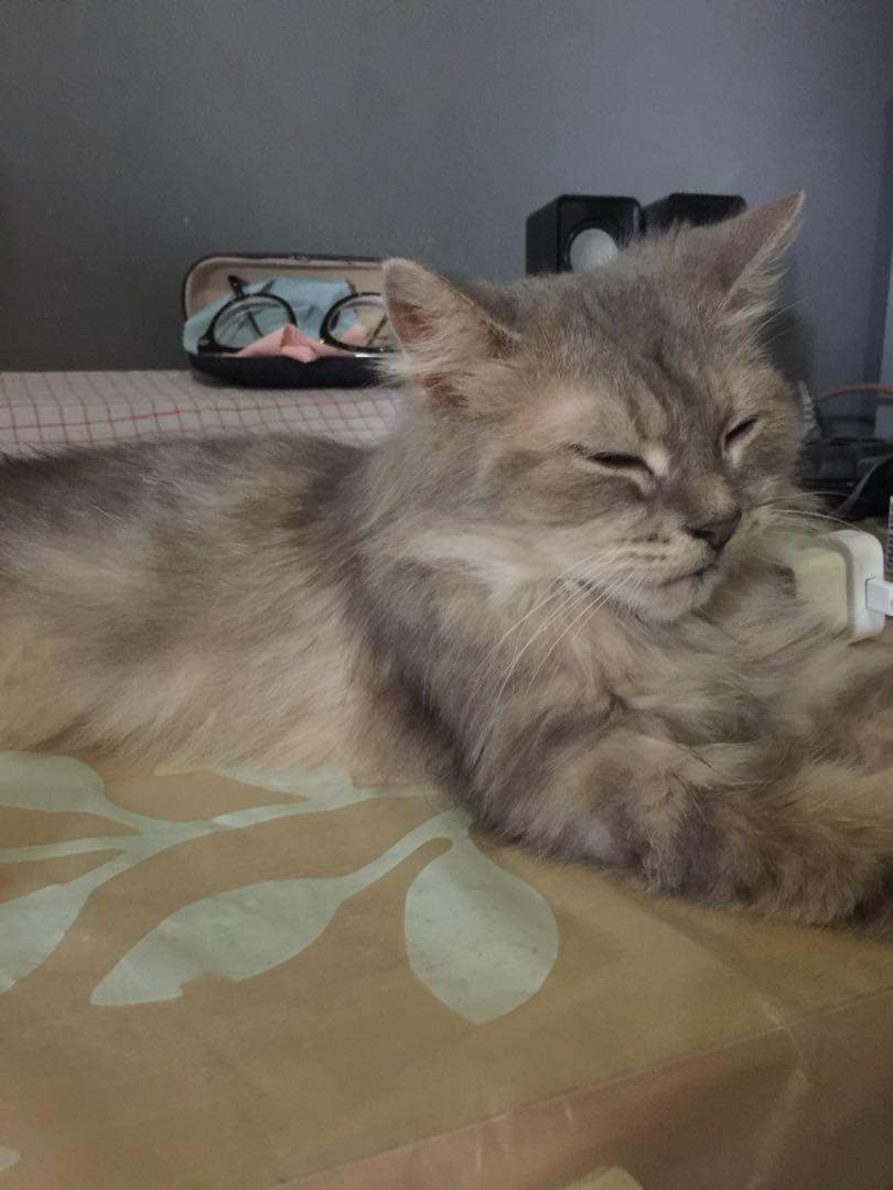 Kucing Betina Persia Medium