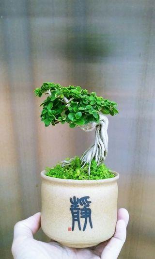 壽娘子 盆景 盆栽