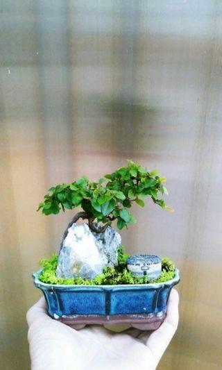 雀梅 盆栽 盆景