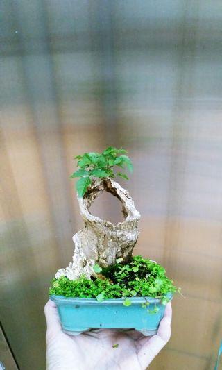 黃荊 盆栽 盆景