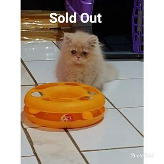 Sold Out Jual kitten Persia Flatnose