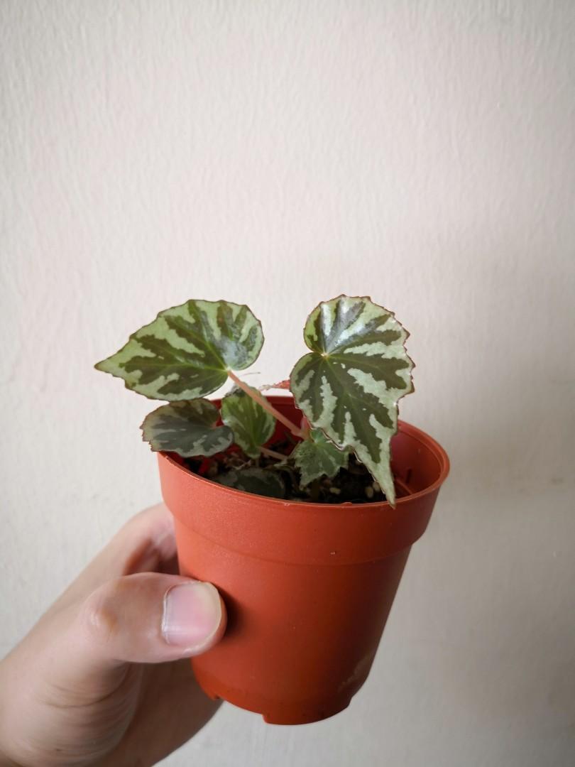 Begonia Iran Raja