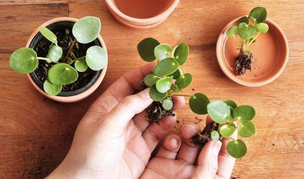 Pilea Peperomioides baby plant {one only}