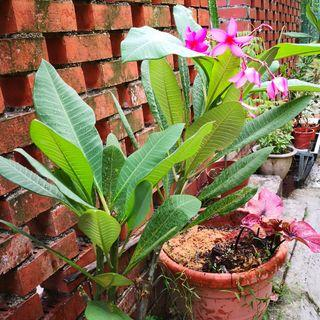 FREE !! Beautiful Pink Plumeria