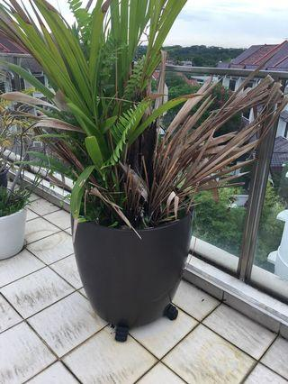 Small Palm plant in large container: 59 cm tall x 56cm diameter.