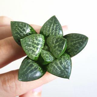 Succulent Plant - Haworthia Comptoniana Top Hybrid
