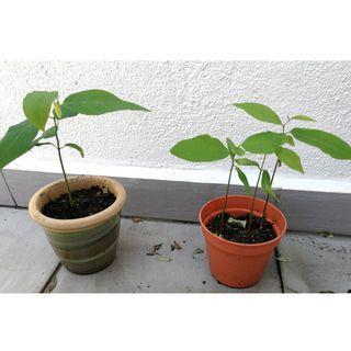 Taiwan Formosa Nona plant/Custard Apple plant