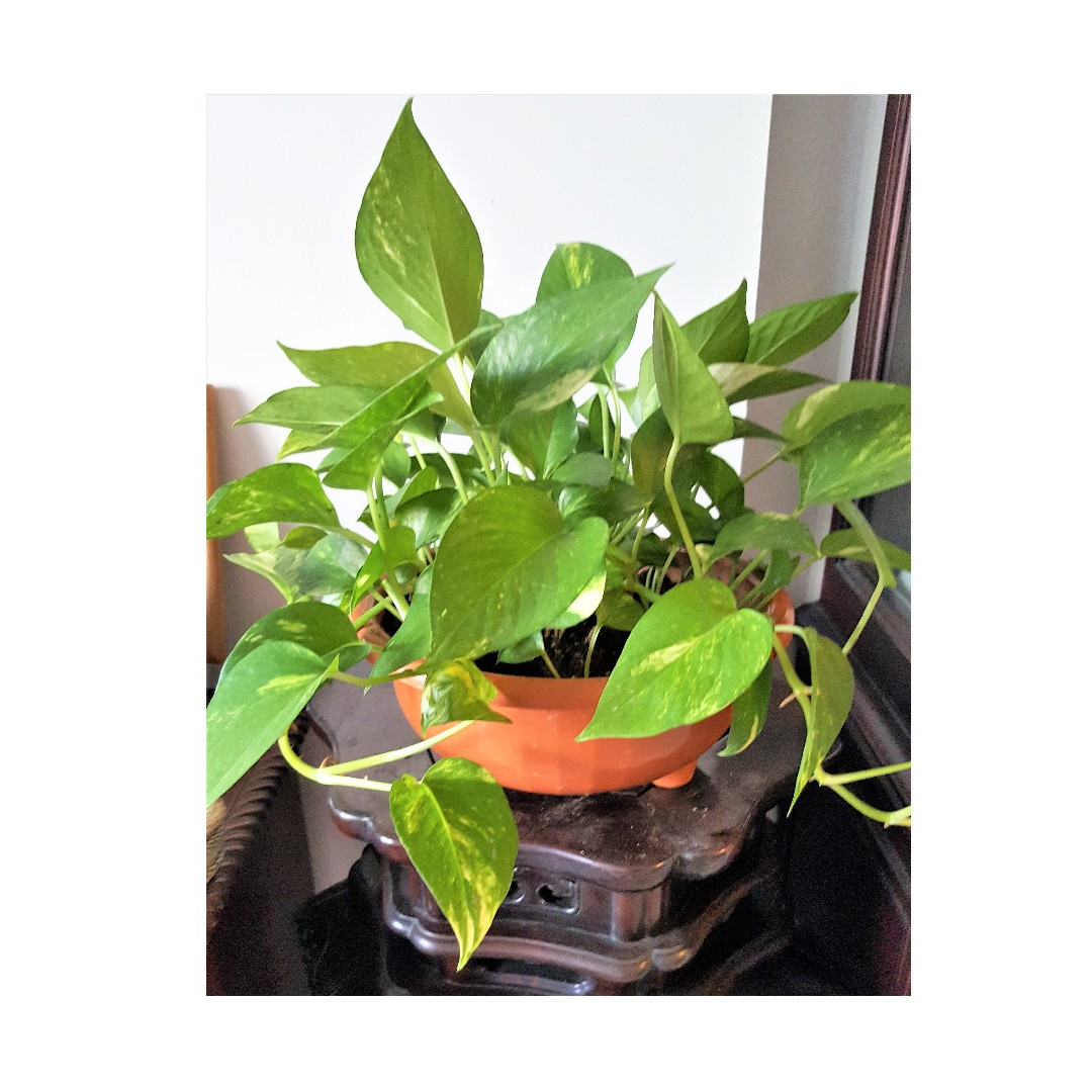 Air Purifier - Money Plant
