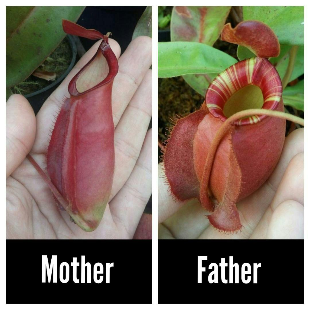 Nepenthes Seeds