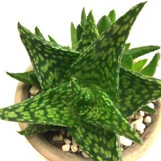 $1 off for Repeat Buyers - Succulent Aloe Spotted Cluster