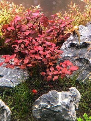 Ludwigia sp red
