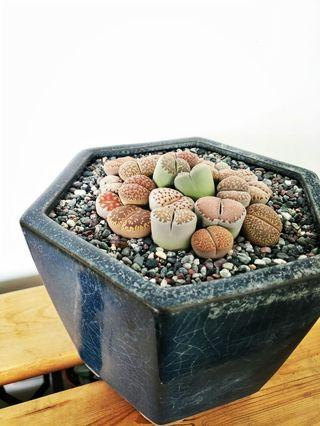 Lithop Collection