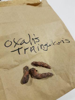 Oxalis Bulbs (Purple Shamrocks)