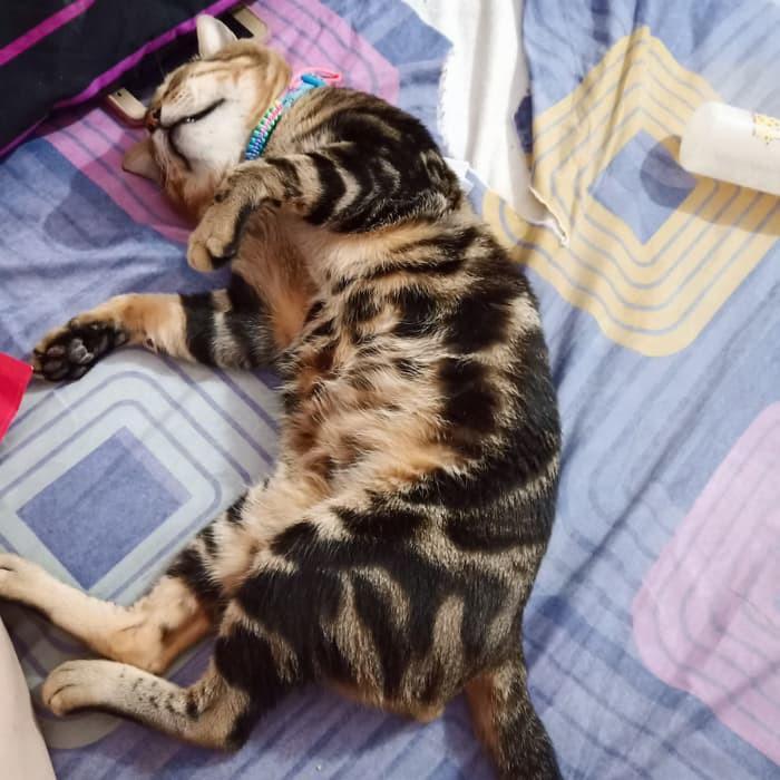 Gambar Kucing Bengal 81021 Nama Untuk Kucing Comel Lucu Dan Unik