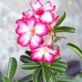 🚚 Desert Rose (Small)