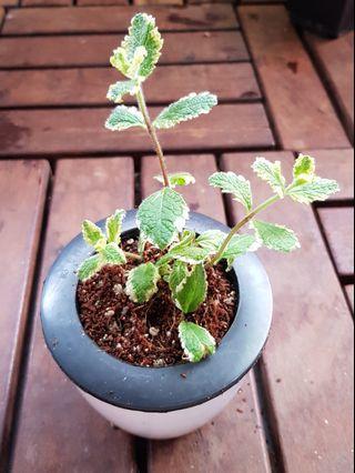 🚚 Pineapple mint (in self watering pot)