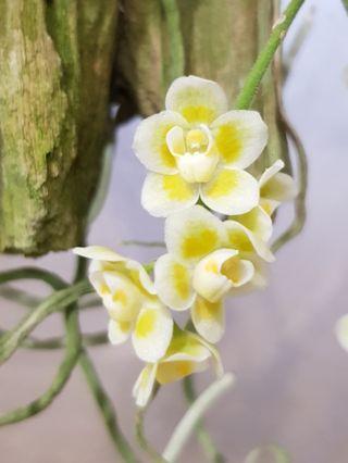 Chiloschista | unique healthy orchid