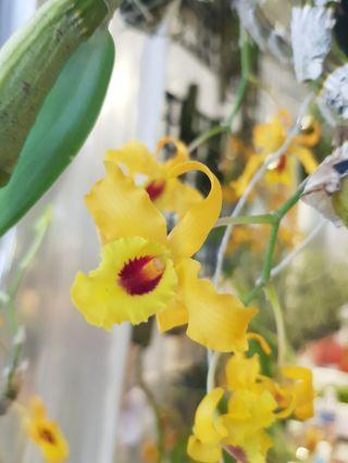 🚚 Dendrobium chanthaboon sunrise | Beautiful healthy orchid