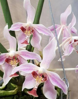 🚚 Paraphalaenopsis | Fragrant healthy orchid