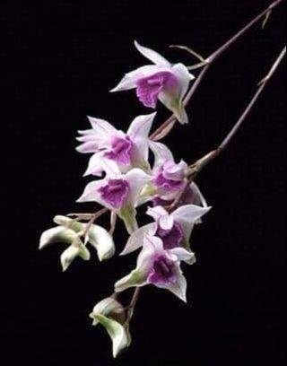 Dendrobium garretii | miniature healthy orchid