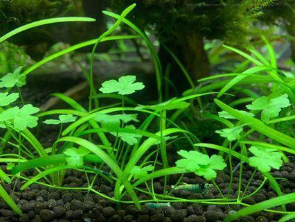 🚚 Japanese clover aquatic plant
