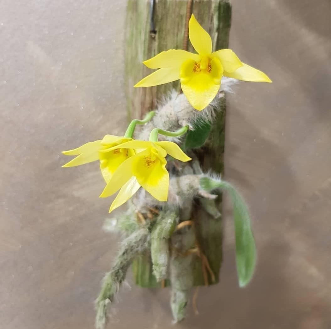 Dendrobium senile | unique healthy orchid