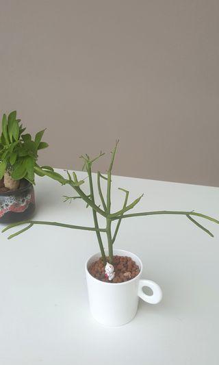 'Reach out' Euphorbia tirucalli @ pencil cactus.