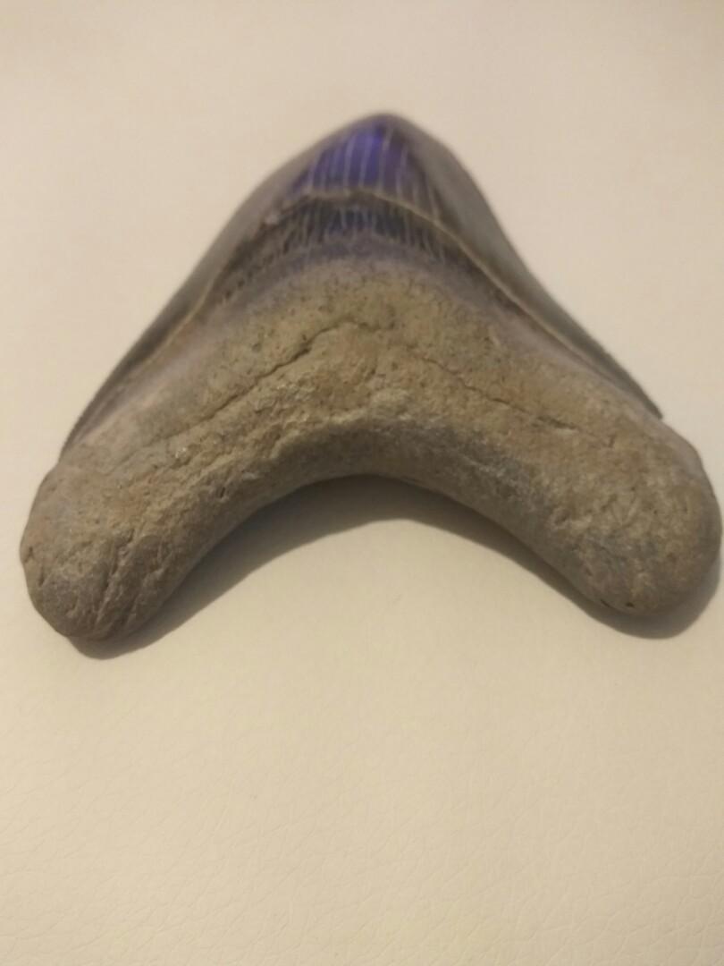 化石鯊魚牙一大一小