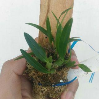 Bulbophyllum Longicaudatum Orchid from Papua 01