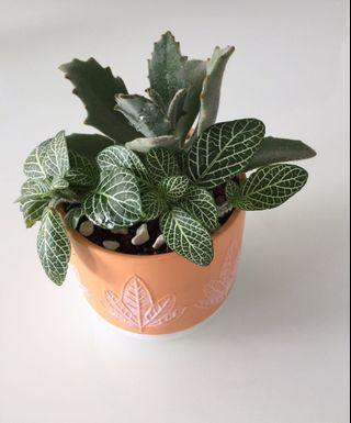 🚚 Fittonia & Succulent Plants in orange pot
