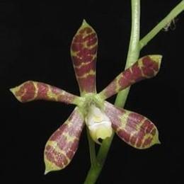 Encyclia boothiana
