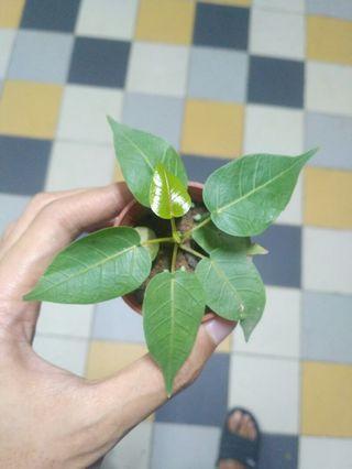 Bodhi tree/sacred fig (ficus religiosa)