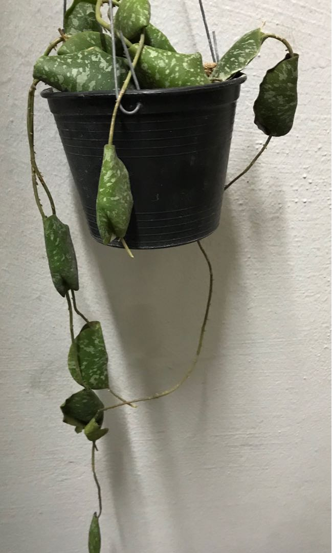 Hoya Imbricata Yellow Corona Gardening Plants On Carousell