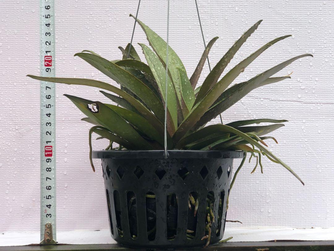 Phalaenopsis pulcherrima hybrid