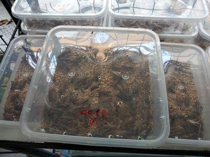 Live Crickets for delivery