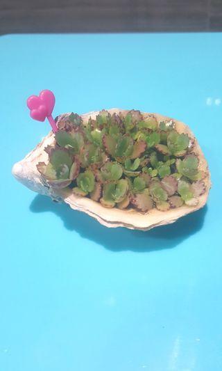 "🚚 ""Green scallops"""
