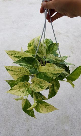 money plant, hanging plant pot.