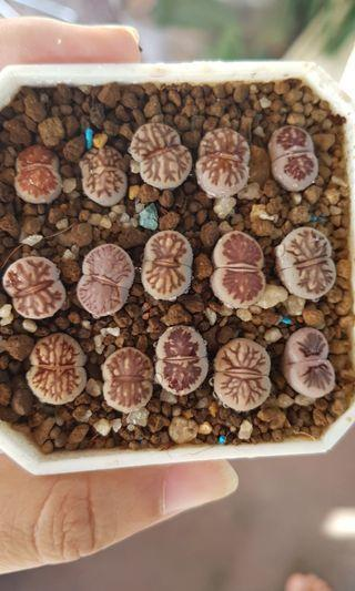 Lithops for one piece