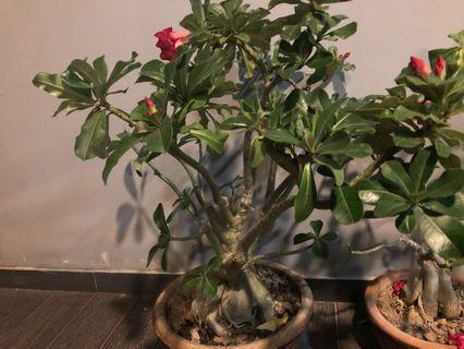 Dual colour Adenium plant