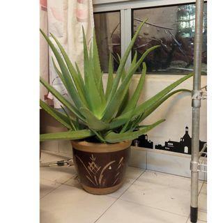 Huge leaves Aloe Vera 7cm width is pregnant once again 🤗