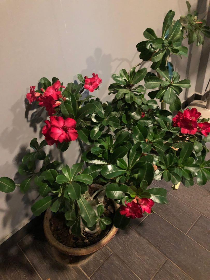 Dual colour Adenium plant