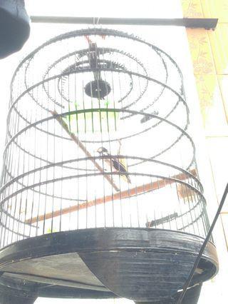 #BAPAU kandang burung murai layak pakai