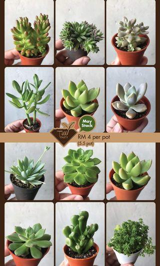 Succulents 5.5 pot (MAY's STOCK)