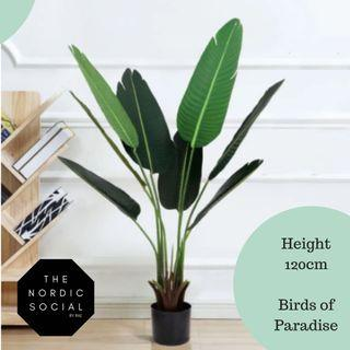 FREE DELIVERY+ READY STOCK banana plant 120cm
