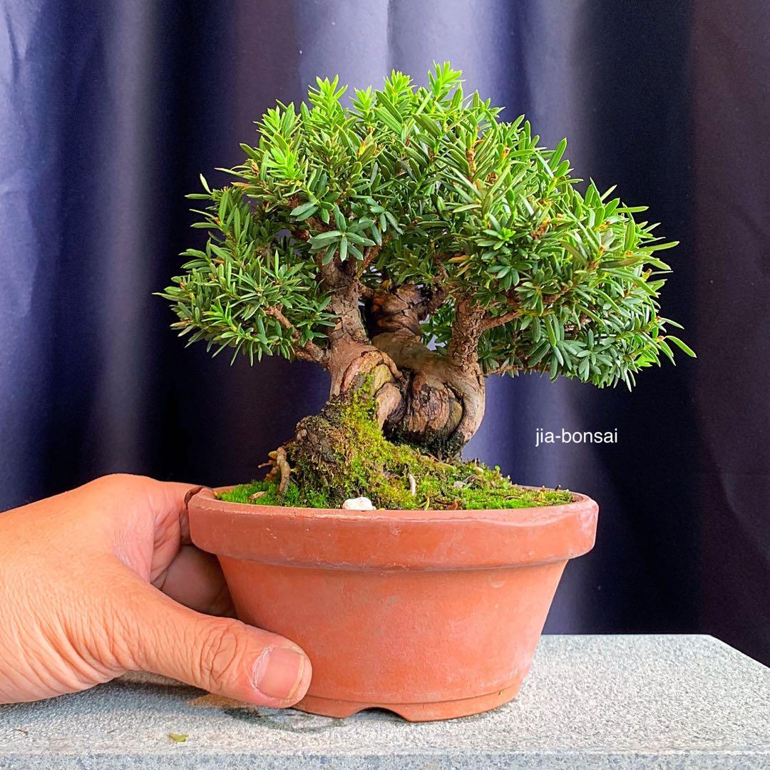 Japanese Yew Bonsai Podocarpus Gardening Plants On Carousell