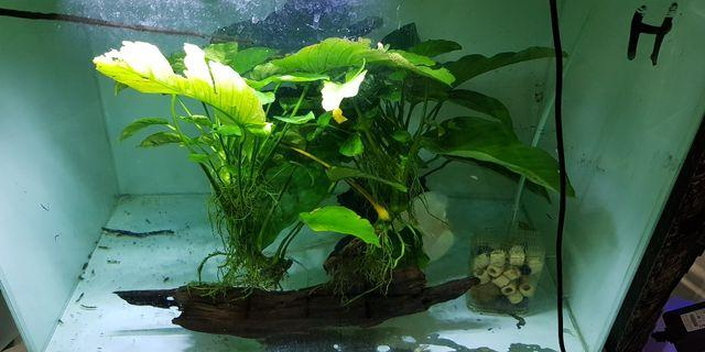 1 set anubias with driftwood ( 2 sets in pic)