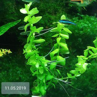 Aquatic Plants Bacopa Caroliniana !! NOW SUPER SALES (5 STEMS $7) (UNCOMMON) No Snail, No Fertilizing, No Chemical Tank, SAFE  FOR  YOUR  SHRIMPS, HEALTHY N ROBUST (LAST BUNCH)