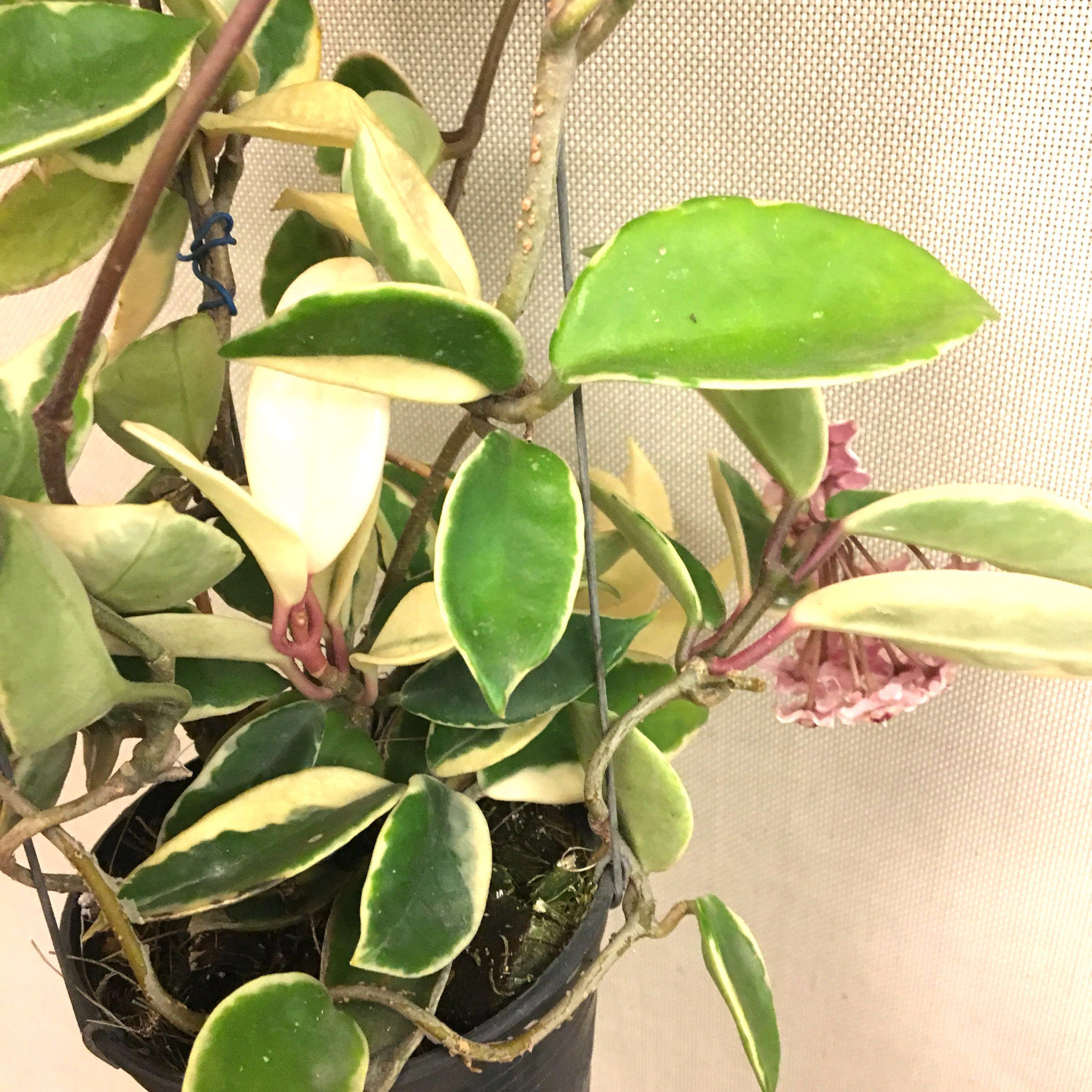 $2 off for Repeat Buyers - Hoya Carnosa in Bloom Porcelainflower
